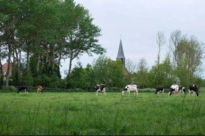 kerktoren koeien